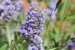 Fleurs pionnières de fuchsia de parc Photos libres de droits