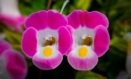 Fleurs pisiformes roses jumelles, fleurs de fourchette Photographie stock