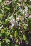 Fleurs pleurantes de crabapple de jade rouge Images libres de droits