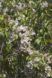 Fleurs pleurantes de crabapple de jade rouge Photo stock