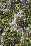 Fleurs pleurantes de crabapple de jade rouge photo libre de droits