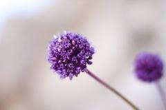 Fleurs pourprées Photographie stock