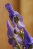 Fleurs pourprées. Image libre de droits