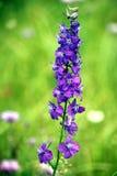 Fleurs pourprées Photos libres de droits