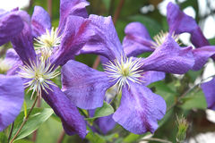 Fleurs pourprées Image stock