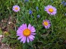 Fleurs pourprées image libre de droits