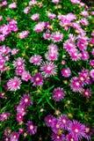 Fleurs pourprées au Japon Photos libres de droits