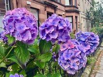 Fleurs pourprées avec les lames vertes photographie stock libre de droits