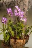 Fleurs pourprées colorées d'orchidée Images stock