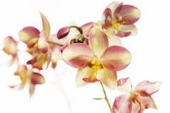 Fleurs pourprées colorées d'orchidée Photos stock