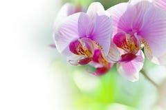 Fleurs pourprées colorées d'orchidée Photo libre de droits