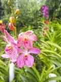 Fleurs pourprées colorées d'orchidée Image libre de droits