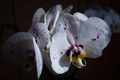 Fleurs pourprées colorées d'orchidée Photos libres de droits