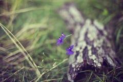 Fleurs pourprées d'été Photographie stock libre de droits