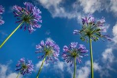 Fleurs pourprées d'allium Photo stock