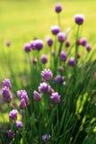 Fleurs pourprées d'allium. Photo libre de droits