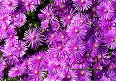 Fleurs pourprées d'aster Image stock