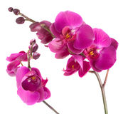 Fleurs pourprées d'orchidée photos stock
