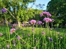 Fleurs pourprées dans le jardin photographie stock libre de droits