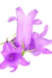 Fleurs pourprées de campanule géante Photos libres de droits