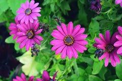 Fleurs pourprées de chrysanthème Photo libre de droits