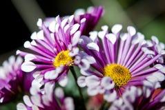 Fleurs pourprées de dahlia Image libre de droits