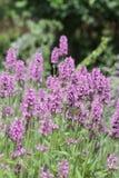 Fleurs pourprées de digitale Photographie stock