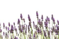 Fleurs pourprées de lavande photos stock