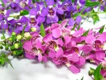 Fleurs pourprées de lavande Photographie stock