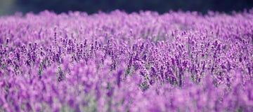 Fleurs pourprées de lavande dans le domaine photos stock
