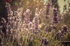 Fleurs pourprées de lavande dans le domaine images stock
