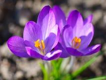 Fleurs pourprées de safran photo libre de droits