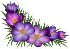Fleurs pourprées de safran Photos stock