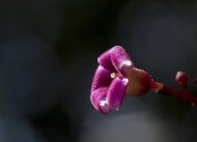 Fleurs pourprées et baisses photo libre de droits
