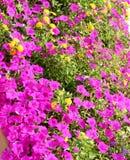 Fleurs pourprées et jaunes photos libres de droits