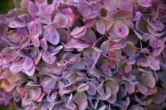 Fleurs pourprées - haut proche Photographie stock libre de droits