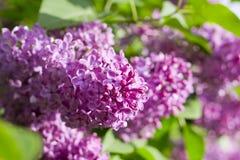 Fleurs pourprées lilas Images stock