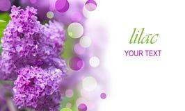 Fleurs pourprées lilas Photos stock
