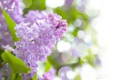 Fleurs pourprées lilas Photo libre de droits