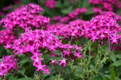 Fleurs pourprées minuscules Photographie stock