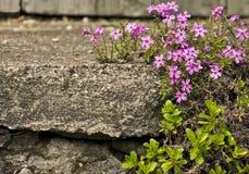 Fleurs pourprées roses sur le vieux, en pierre escalier Photographie stock