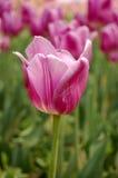 Fleurs pourprées rouges Photographie stock libre de droits