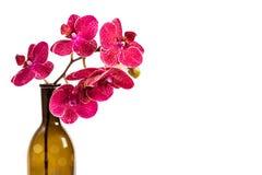 Fleurs pourpr?es color?es d'orchid?e Une branche des fleurs rouges image libre de droits
