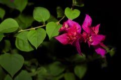 Fleurs pourpres à l'arrière-plan noir Bouganvillée à l'arrière-plan noir image stock