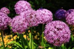 Fleurs pourprées Photo stock