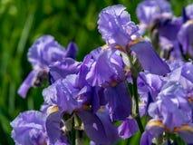 Fleurs pourpres Photo libre de droits