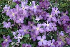 Fleurs pourpres Photographie stock libre de droits