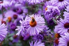 Fleurs pourpres avec l'abeille Photographie stock libre de droits