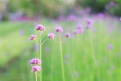 Fleurs pourpres avec la beauté Photo stock