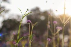 Fleurs pourpres avec la beauté au lever de soleil Photos stock